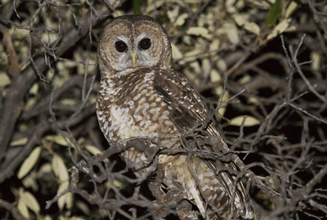A Mexican spotted owl image - what do owls eat