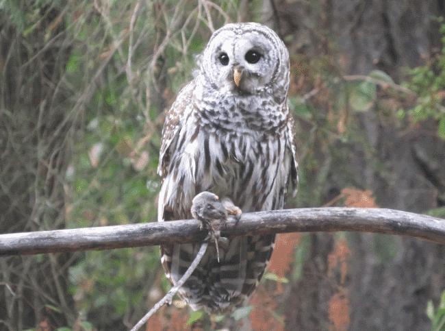What Do Owls Eat Definitive Guide To 33 Types Of Owls Deep Analysis