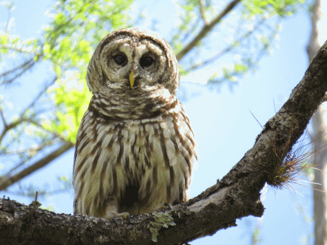 A barred owl image - What do owls eat