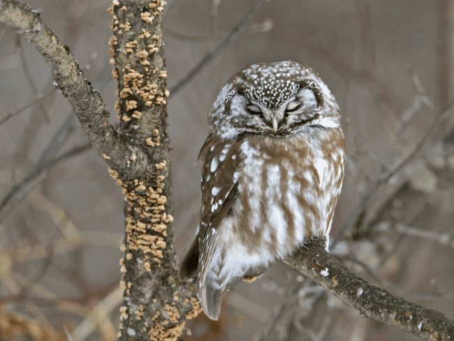 Animals t • Your Encyclopedia to Animals t and Eating Habits on saw-whet owl house, great horned owl house, barred owl house, eastern screech owl house, western screech owl house,