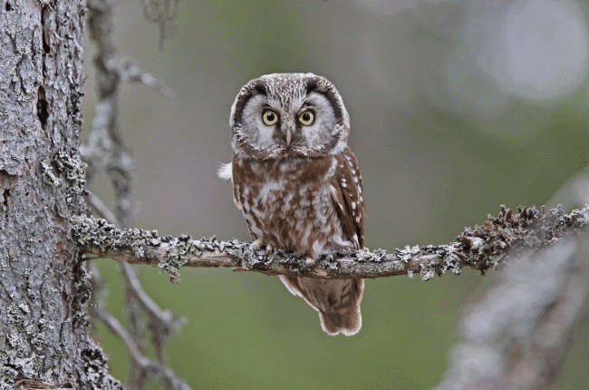 A boreal owl image - What do owls eat