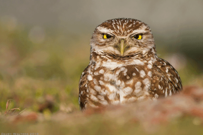 A burrowing owl image - What do owls eat