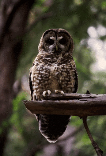 A california spotted owl image - what do owls eat