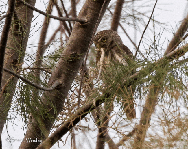 A ferruginous pygmy owl image - What do owls eat