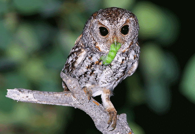 what is an owls diet