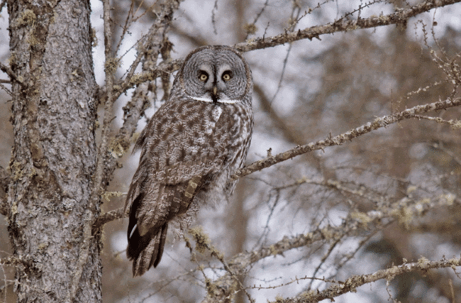 A great gray owl image - What do owls eat