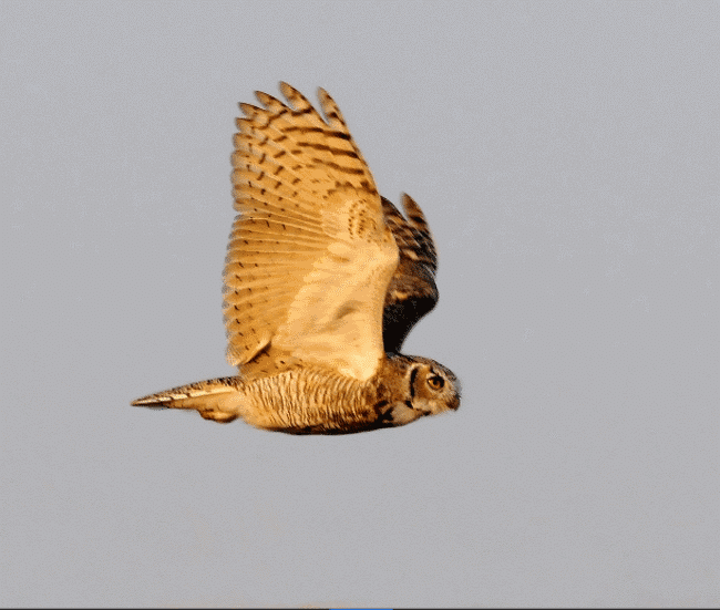 A great horned owl picture- what do owls eat