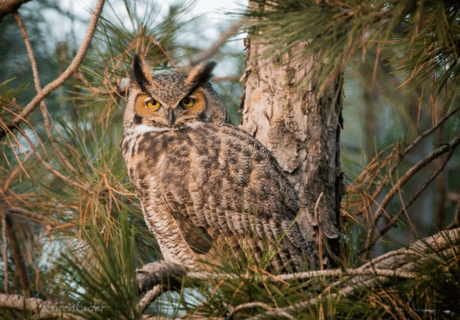 The great horned owl image - what do owls eat