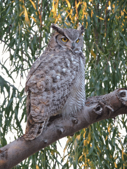great horned owl image - what do owls eat