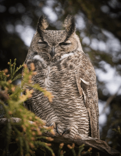A great horned owl image - what do owls eat