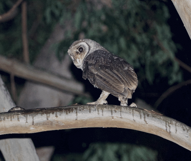 A greater sooty owl image - What do owls eat
