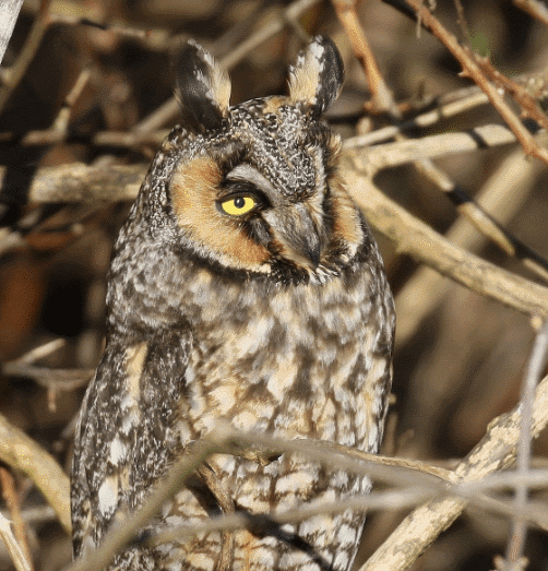A long-eared owl image - What do owls eat
