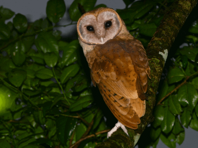 A madagascar red owl image - What do owls eat