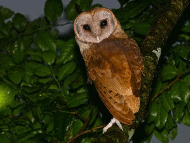 A madagascar red owl image - What do owls eat