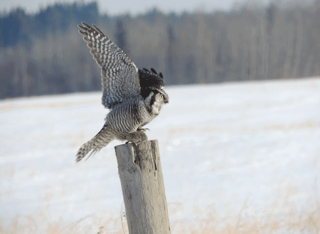 The northern hawk owl image - what do owls eat