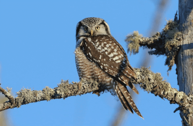 A northern hawk owl image - what do owls eat