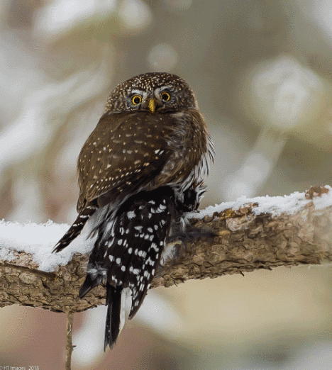 A northern pygmy owl image - what do owls eat