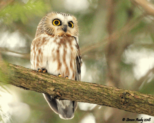 A northern saw-whet owl image - What do owls eat