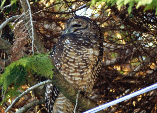 A northern spotted owl image - What do owls eat