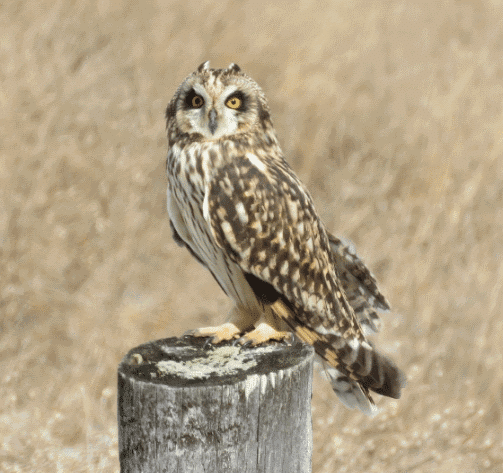 A short eared owl image - What do owls eat