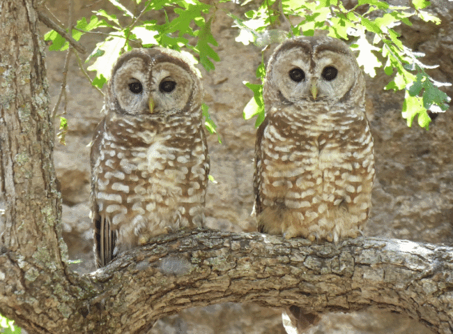 A spotted owl image - What do owls eat