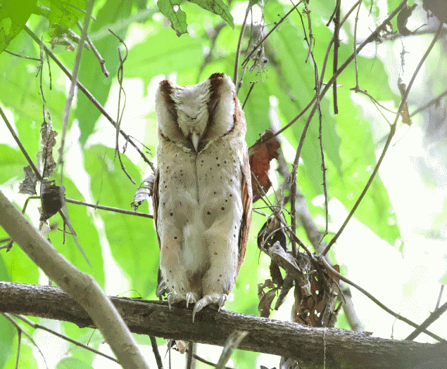 A sri lanka bay owl image - What do owls eat