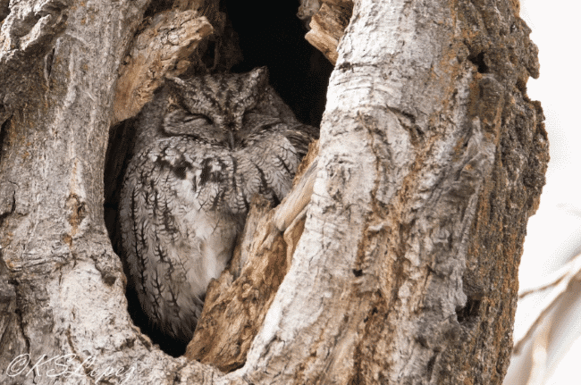 A western screech owl image - what do owls eat