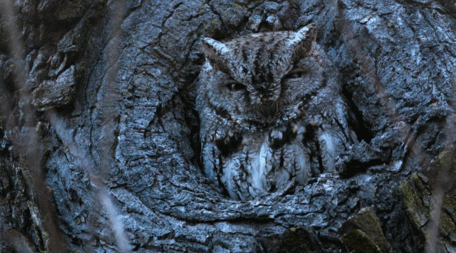A western screech owl - what do owls eat