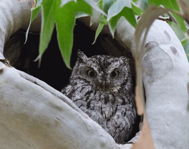A whiskered screech owl image - What do owls eat