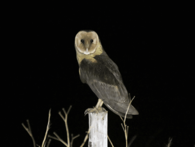 African grass owl picture - what do owls eat