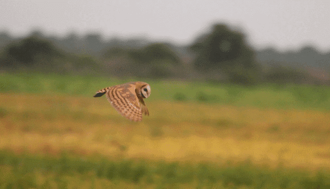 American barn owl picture - What do owls eat