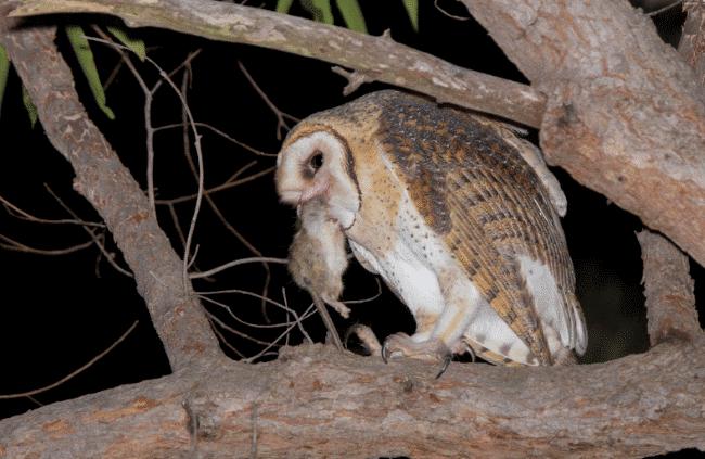 An Australian-masked owl image - What do owls eat