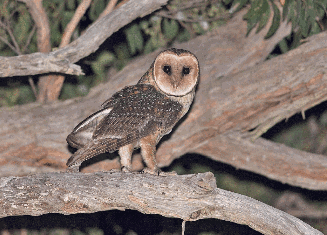 An Australian-masked owl image - What do owls eat