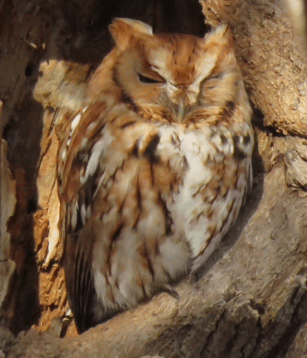 An eastern screech owl - What do owls eat