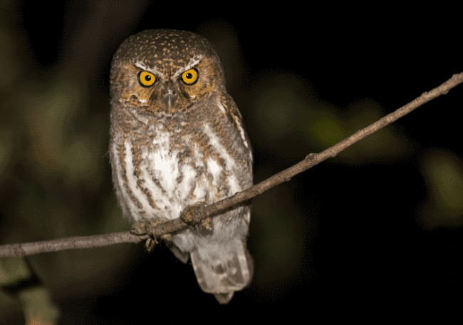 An elf owl image - what do owls eat