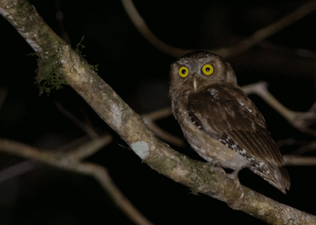 Andaman scops owl image - What do owls eat