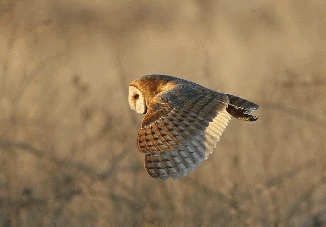 Barn owl flying picture - what do owls eat