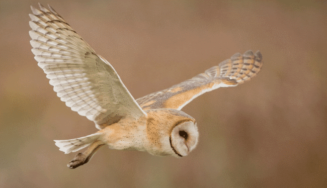 Barn owl image - what do owls eat