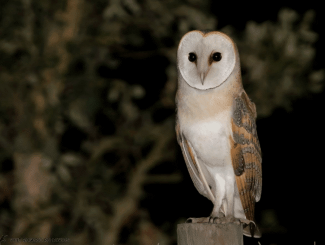 Barn owl in Portugal image - What do owls eat