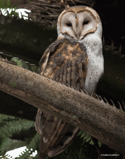 Barn owl perch on tree - what do owls eat