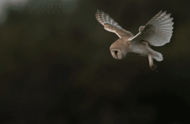 Barn owl spotted prey - what do owls eat