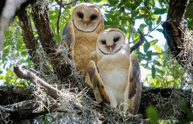 Barn owls picture - what do owls eat