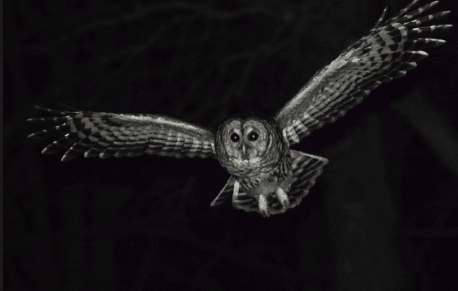 Barred owl picture - what do owls eat