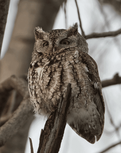 Beautiful picture of eastern screech owl - what do owls eat