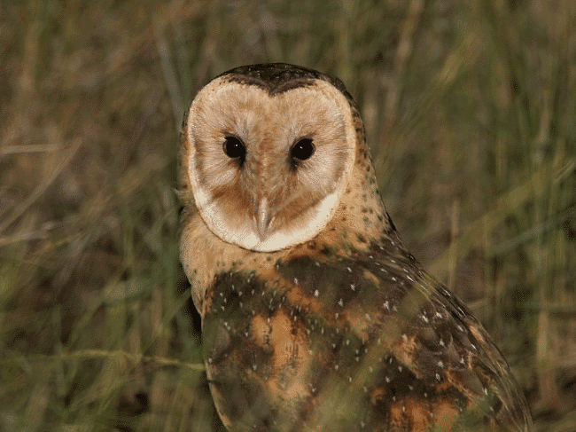 Eastern grass owl image - What do owls eat