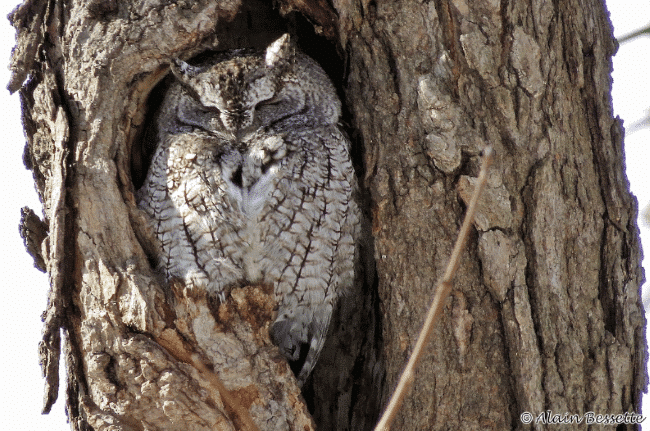 Eastern screech owl image - What do owls eat