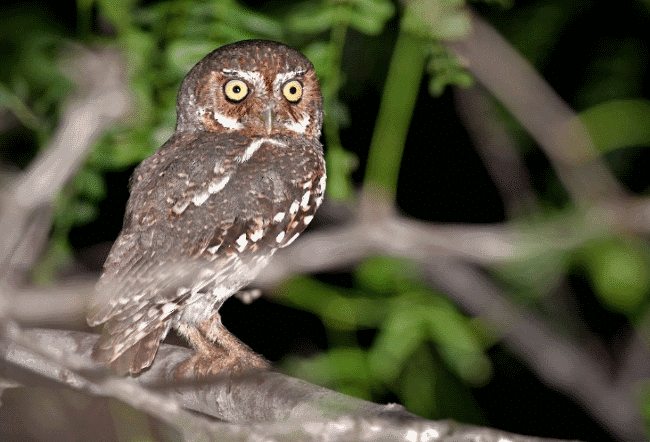 Elf owl image - what do owls eat