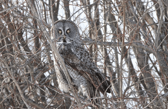 Great Gray Owl picture - what do owls eat