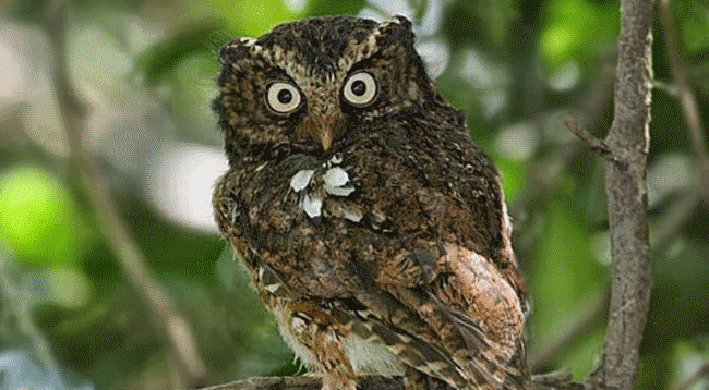 Javan Scops Owl - What do owls eat