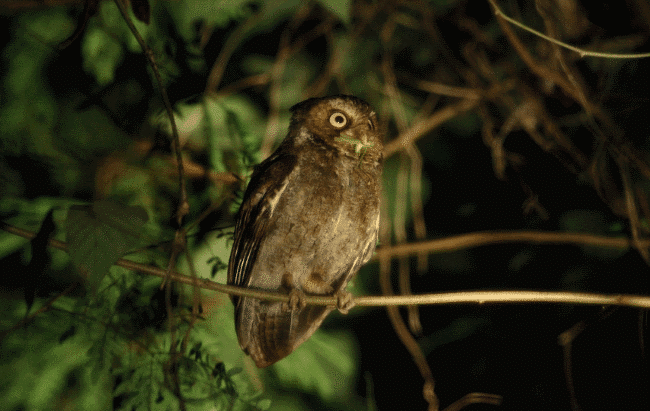 Mountain scops owl image - what do owls eat